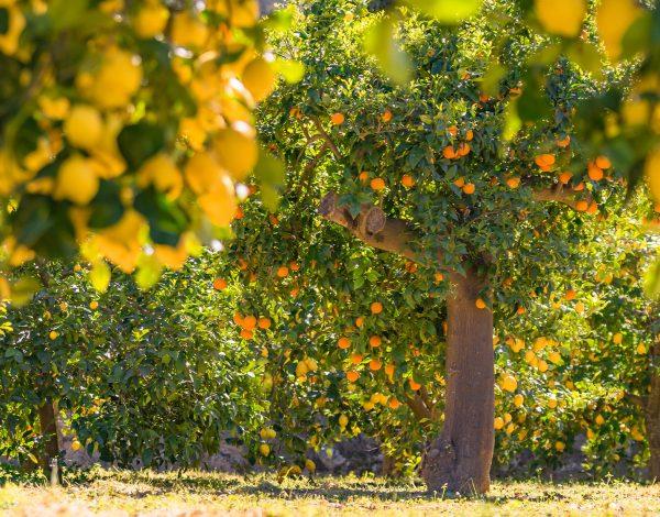 Majorka pachnie soczystą pomarańczą!
